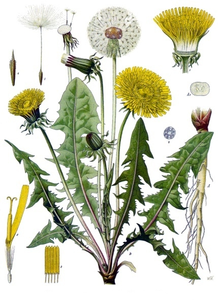 Dandelions — Food and Medicine